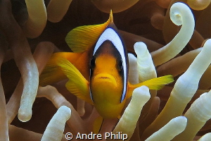 Red Sea´s Nemo - the two-banded anemonefish by Andre Philip